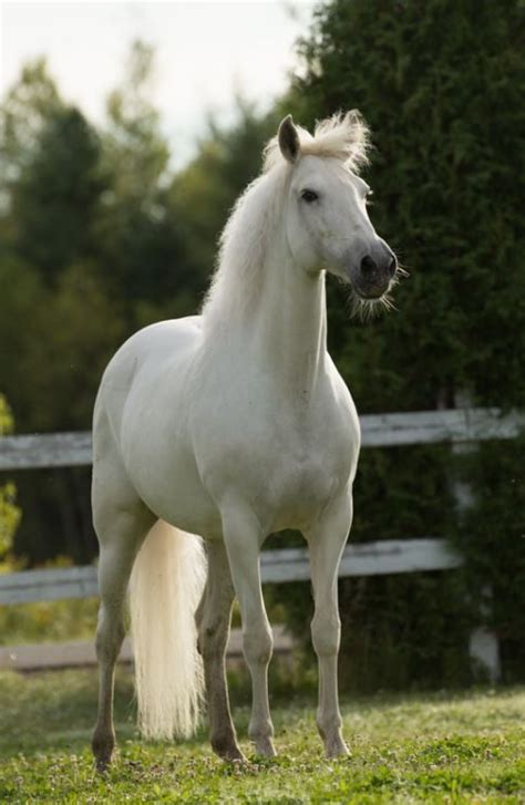 warmblood horses sales olympia rmc andalusian horse pretty