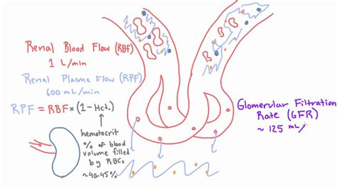 Glomerular Filtration Rate (gfr) And Filtration Fraction. Cerebral Artery Signs Of Stroke. Wristband Signs. Aquarius Signs Of Stroke. Relearn Guitar Signs. Dry Fingertip Signs Of Stroke. Cafe Open Signs Of Stroke. Unhappy Signs. Tin Signs