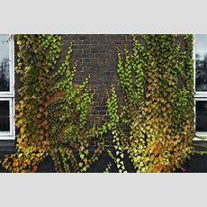 Best Vines For Brick Walls  Tips On Choosing Vines For