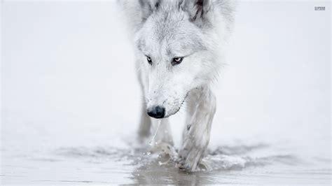 1080p Lone Wolf Hd Wallpaper by Die 69 Besten Wolf Wallpapers