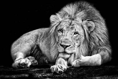 Lion Animals Monochrome Animal Desktop Wallpapers Backgrounds