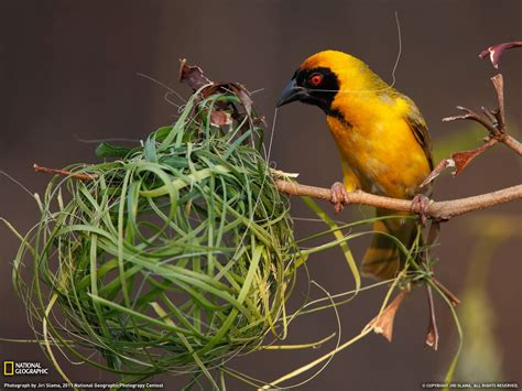 nest with birds pictures bird building a nest wallpapers and images wallpapers pictures photos