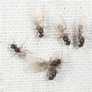 Flying Ants In-House