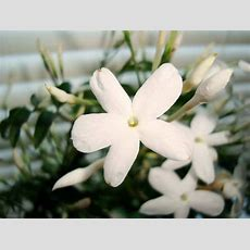 Jasminum Polyanthum (jasmine) Guide  Our House Plants