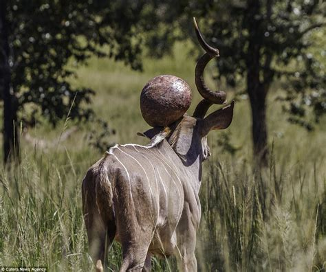 Kudu in South Africa with bizarre growth sprouting from ...