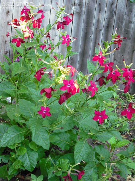 flowering tobacco plantfiles pictures flowering tobacco crimson bedder nicotiana alata by timber2680