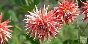 Quand Planter Des Dahlias : plantation des dahlias fleurs jardipartage ~ Nature-et-papiers.com Idées de Décoration