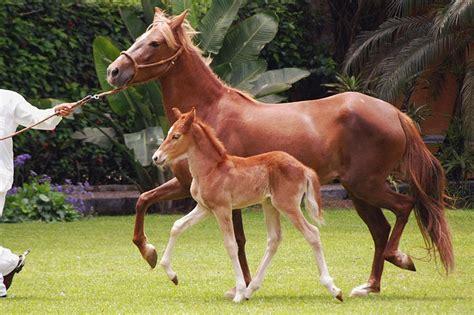exotic peruvian horses