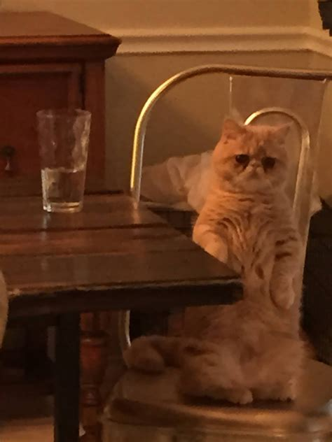 Cat Standing On Two Feet by Meet George The Human Cat Who Prefers Standing On 2 Legs