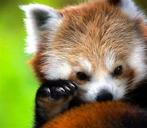 Baby Red Panda Images | www.imgkid.com - The Image Kid Has It!