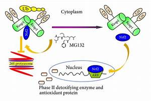Preventive and Therapeutic Effects of MG132 by Activating ...