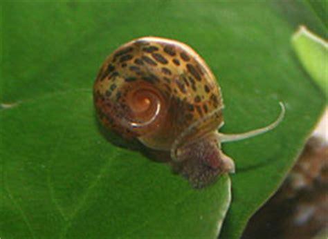 escargots en aquariophilie planorbe physe m 233 lano 239 des ou