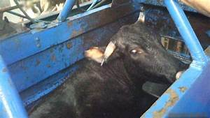 No UK link to kosher meat from abattoir accused of cruelty ...