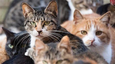 cat cats why australian many
