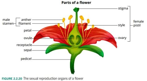 Carnation Anatomy Diagram by Flower Parts Diagram Downloaddescargar