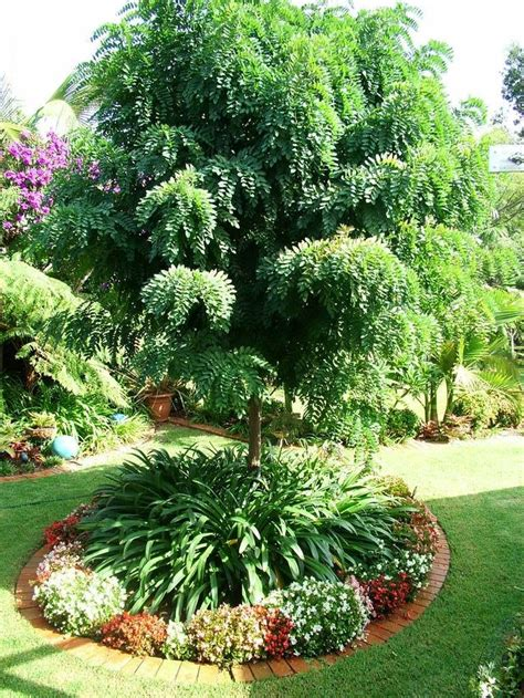 feature tree for front yard a robina mop top here s a photo of a farly young one they dont really grow taller but the