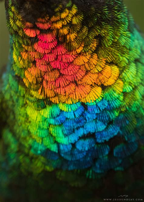 spectacular close  view   fiery throated