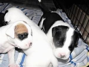 English Bulldog Lab Mix Puppies