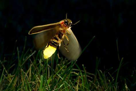Perchè Le Lucciole Si Illuminano 5 cose da sapere sulle lucciole lifegate