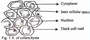 Structure And Function Of Collenchyma Tissue