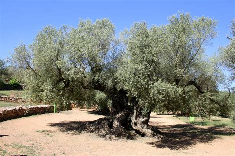how much is an olive tree visiting the world s oldest olive trees an insider s spain travel blog spain food blog