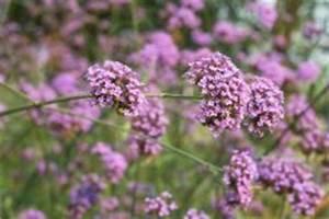 Canna Blüten Abschneiden : verbene pflegen die besten pflegetipps ~ Lizthompson.info Haus und Dekorationen