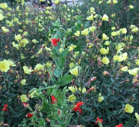 cal plants california freshwater marsh plants