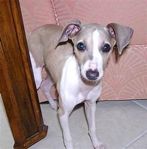 Beagle Italian Greyhound Mix Photo - Happy Dog Heaven