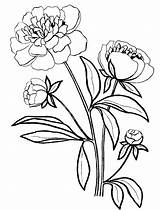 Peony Coloring Pages Drawing Line Print Nature Clipartmag sketch template