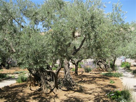 olive tree leaves the significance of the olive tree devotional 1179