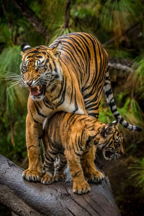 Sumatran Tiger Joanne Protective First Time Mother