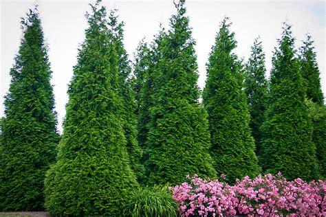 arborvitae trees thuja green giant trees for sale the tree center