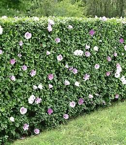Immergrüne Hecke Pflegeleicht : hibiskus hecke pflanzen pinterest hibiskus hecke hibiskus und g rten ~ Markanthonyermac.com Haus und Dekorationen