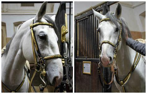 lipizzaner vienna stallions horses horse famous spanish riding insider tips