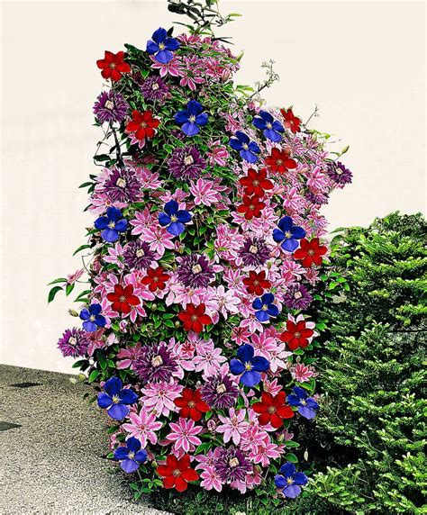 Clematis Mixed  Clematis 'nelly Moser' + 'multi Blue
