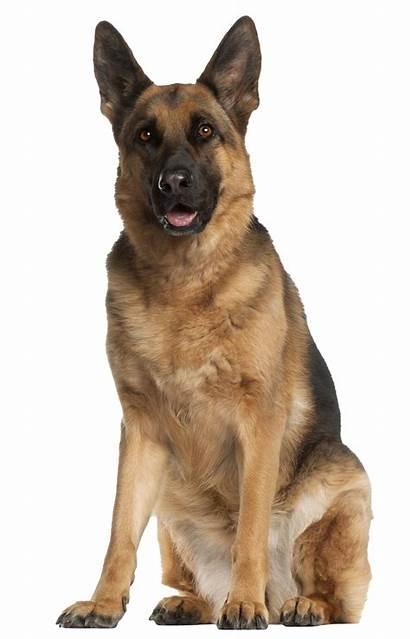 Shepherd German Transparent Dog