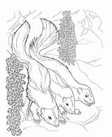 Skunk Coloring Pages Animals Printable Nocturnal Flower Comments Night sketch template