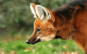 Maned Wolf Computer Wallpapers, Desktop Backgrounds ...