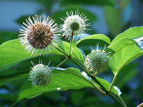 Buttonbush #2 (Cephalanthus occidentalis)   Scioto Gardens ...
