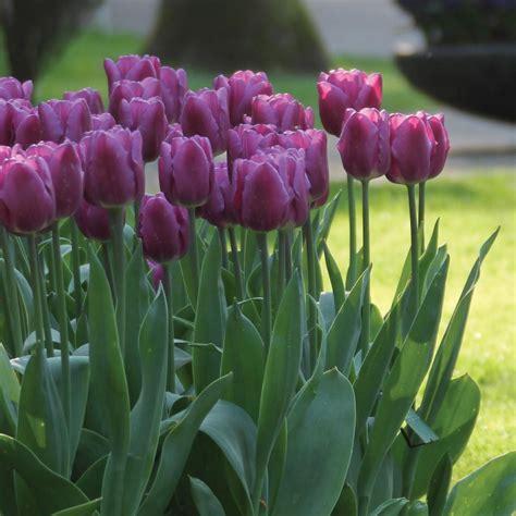 longfield gardens tulip purple lady bulbs  pack