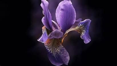 Orchid Flower Irys Fioletowy Desktop Wallpapers Tapeta