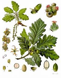 Linde Baum Steckbrief : traubeneiche wikipedia ~ Orissabook.com Haus und Dekorationen