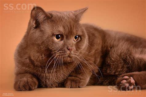 SS.COM Kaķi, kaķēni - Britu īsspalvainais, Cena 100 ...