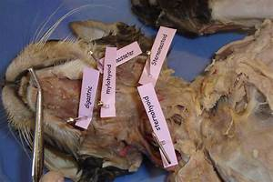 Cat Dissection  Human Anatomy  Head And Neck Labeling