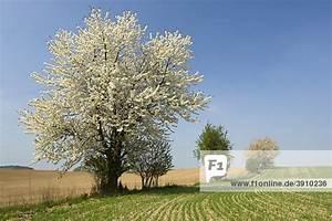 Rosa Blühender Baum Im Frühling : baum deutschland europa fr hling raps bl hender baum ~ Lizthompson.info Haus und Dekorationen