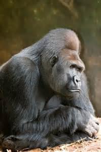Silverback Gorillas Fighting