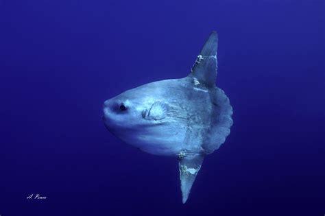 pesce luna mola mola schede museo  storia naturale