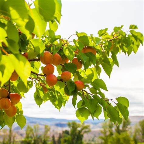 Moorpark Apricot Trees for Sale- FastGrowingTrees.com