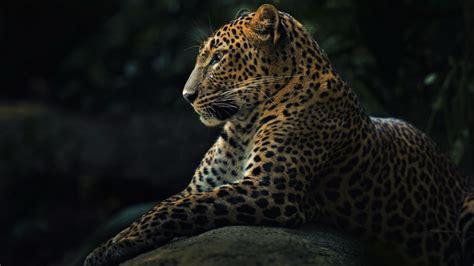 Leopard Animal Wallpaper - wallpaper leopard look animals animals 4733