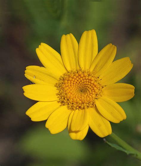 wilg bloem gele ganzenbloem glebionis segetum kijken in de natuur
